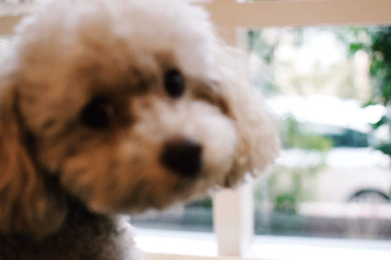 メルボルン友人家族の見返り美人犬